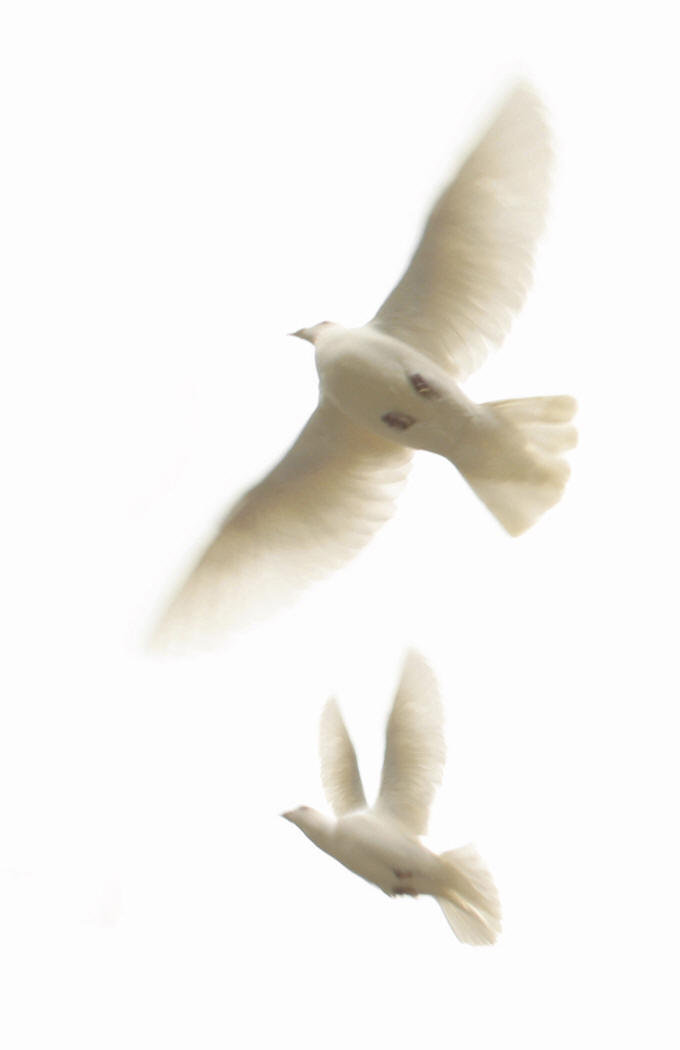 Peace & Reflection (Doves)